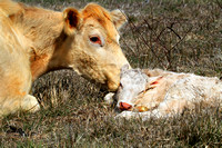 A Mother's Love ~ Calf