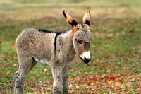 Innocense ~ Baby Donkey