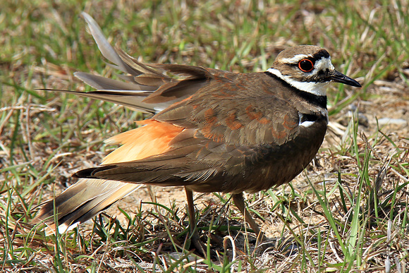Mother's Dedication ~ Killdeer