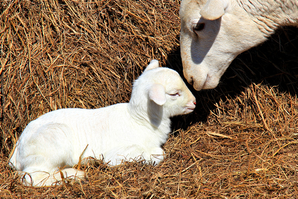 Mother's Love ~ Lamb